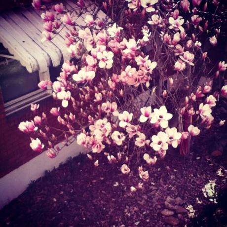 magnolia tree 1.0