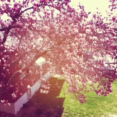 magnolia tree 3.0