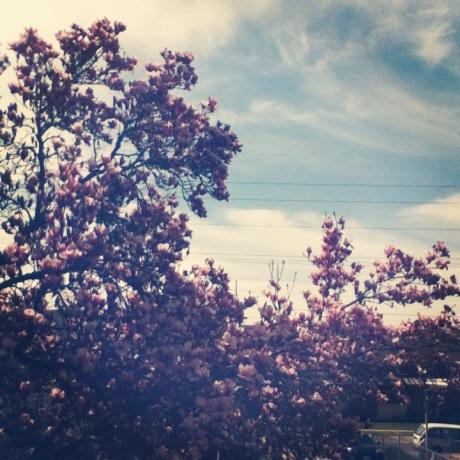 magnolia tree 5.0