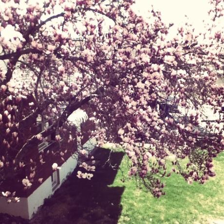 magnolia tree 8.0